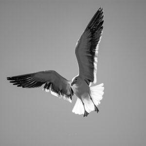 Gaivota de asas abertas