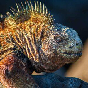 Iguana marinha das ilhas Galápagos
