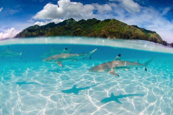 Foto de tubarões galha preta em Moorea Tahiti