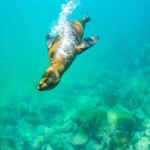 Lobo marinho das ilhas Galápagos
